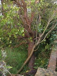 Lilac tree down