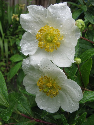 Carpenteria californica flowers