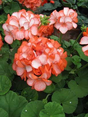 Geranium F1 Horizon Coral Spice Improved