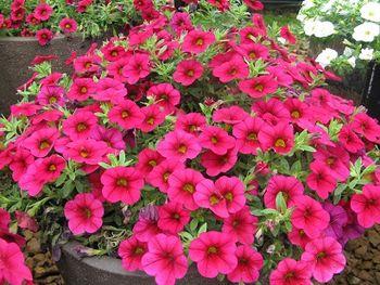 Calibrachoa Rose