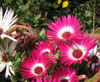 Mesembryanthemum flowers