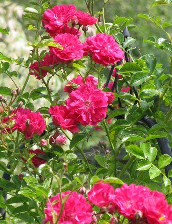 Pink rambler rose, probably Super Excelsa