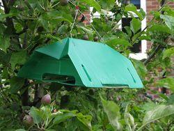 Codling moth trap in apple tree