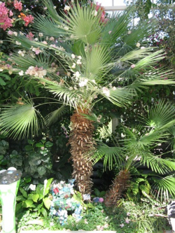 Palm in the Palm House, Sefton Park, Liverpool