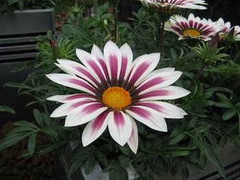 Gazania Daybreak Rose Stripe
