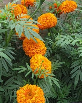 Orange anemone marigold, Plant Me Now