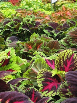 Coleus varieties