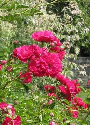 Excelsa rose against pink leaved plant
