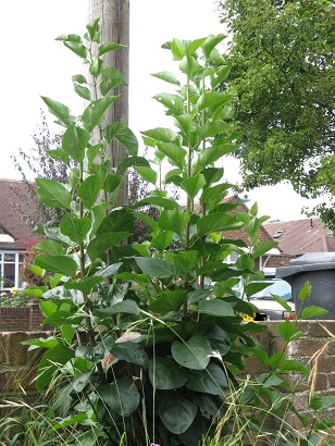 Lilac tree bushing out, August 2014