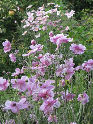 Autumn or Japanese anemones