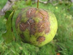 Apple with scab, cracked skin