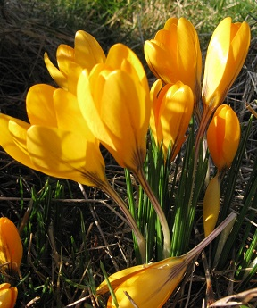 Golden crocuses