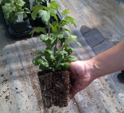 Garden-ready Chrysanthemum plug from Woolmans
