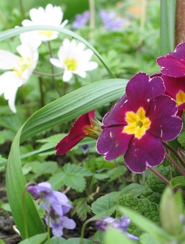Spring corner, polyanthus, anemone, violets