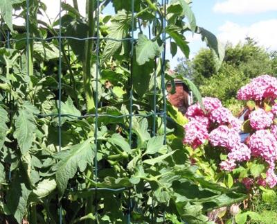 Cages Gigantomo tomato plant