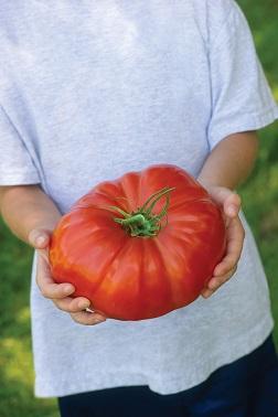 Gigantomo, giant tomato, Credit Van Meuwen