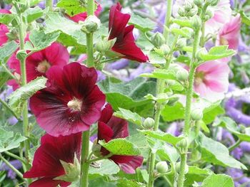 Wine and pink hollyhocks against hebe