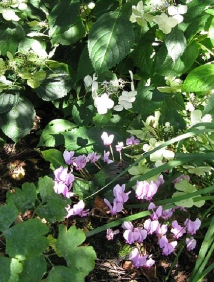 Lace-cap hydrangea and cyclamen