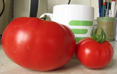 Gigantomo tomatoes vary in size