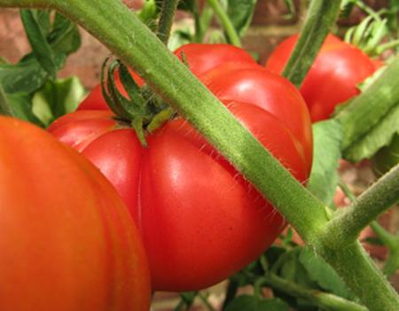 Gigantomo tomatoes on vine