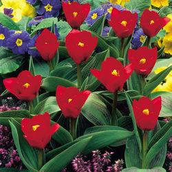 Show-winner Tulip