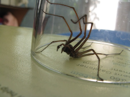 Spider caught under glass