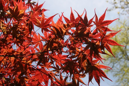 ©The Farplants Group_FD6891 Japanese Maple leaves (Acer) April