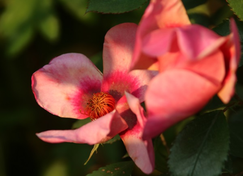 For Your Eyes Only, Rosa Persica, Rose of the Year 2015