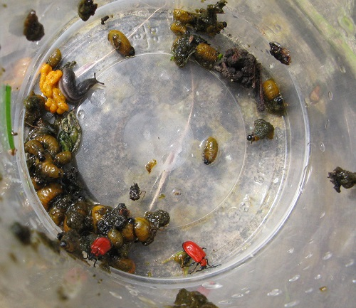 Lily beetles removed from plants