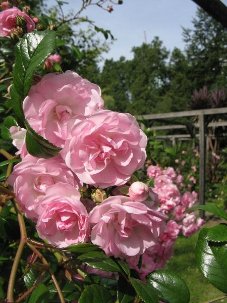 Roses, Vauxhall Park, London
