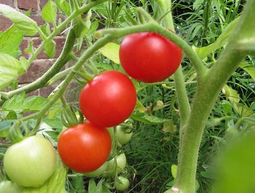 Tomato Mountain Magic