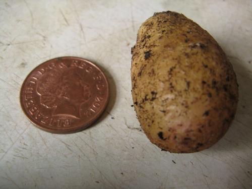 Egg and Chips Potato harvest