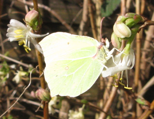 Brimstone butterfly on winter honeysuckle