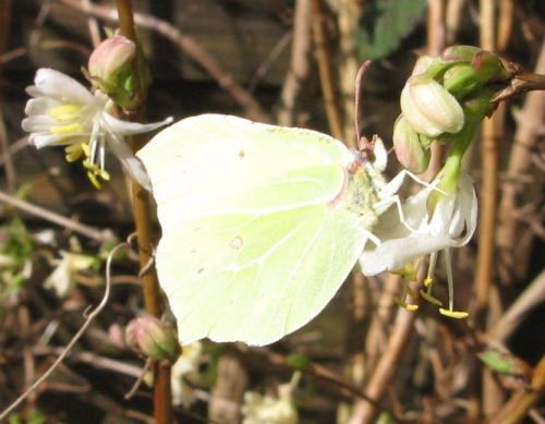 Brimstone butterfly on winter honeysuckle