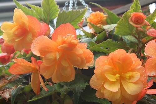Begonia Apricot Illumination from Van Meuwen  hanging basket