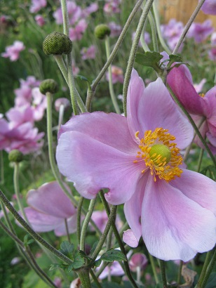 Autumn or Japanese anemone