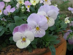Viola Teardrop Pink Blush from Plant Me Now
