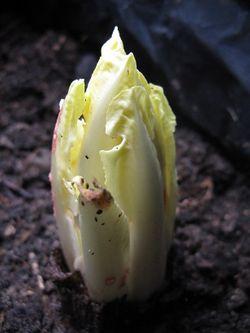 Chicory chicon