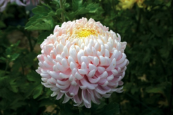 Chrysanthemum Lilac Chessington from Woolmans
