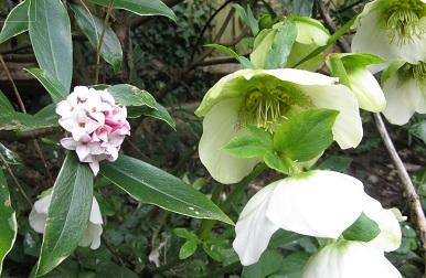 Daphne odorata and helebore