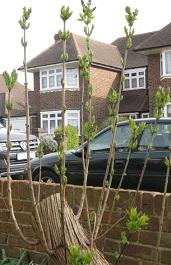 Lilac tree 2015