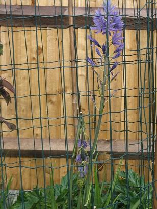 Camassia behind bars