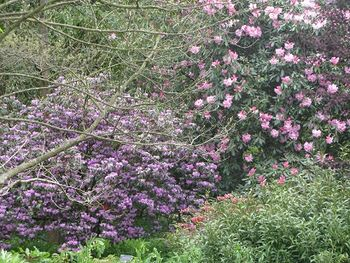 Rhododendrons at Wisley, May 2015