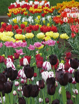 Black tulips to the fore in trials at RHS Wisley. May 2015