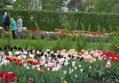 Tulips attracting interest at trials at RHS Wisley. May 2015