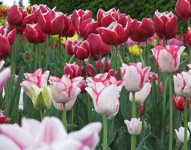 Pink and white in tulip testbeds at RHS Wisley. May 2015