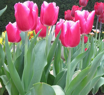 Tulipa 'In Love' on trial at Wisley. May 2015