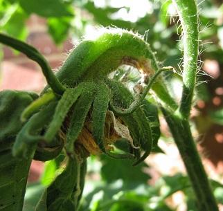 Gigantomo tomato plant, megablossom unfolding
