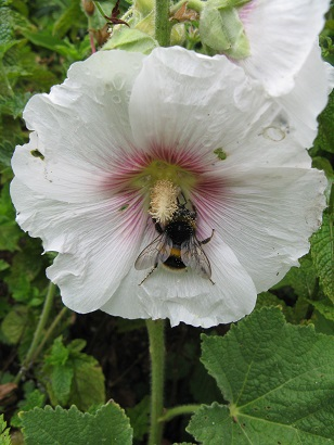 Hollyhock with bee