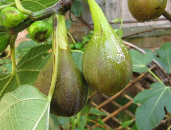 Brown Turkey figs, almost ready to pick